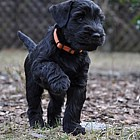 Black Schnauzer puppies